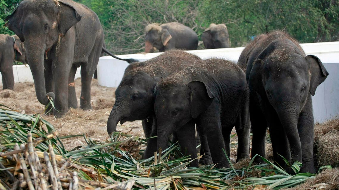 In this Monday, Oct. 31, 2011 file photo, elephants are fed with fresh sugarcanes at the elephant camp in Ayutthaya province, central Thailand.