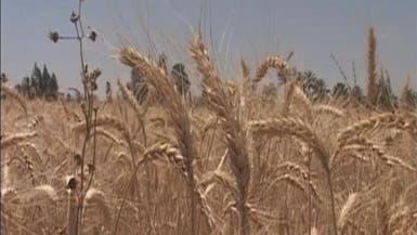 """مصر تحاول للمرة الثالثة شراء القمح بلا """"إرجوت"""""""