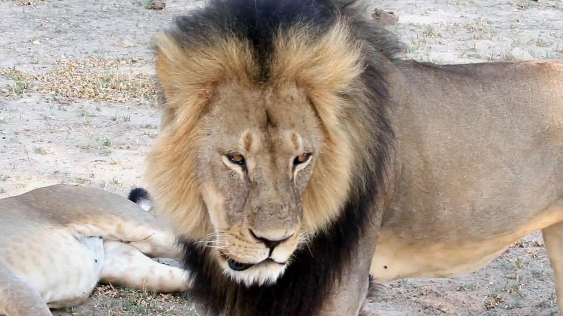 In this image takem from a November 2012 video made available by Paula French, a well-known, protected lion known as Cecil strolls around in Hwange National Park, in Hwange, Zimbabwe. Zimbabwe's wildlife minister says extradition is being sought for Walter Palmer, the American dentist who killed a Cecil. (Paula French via AP)