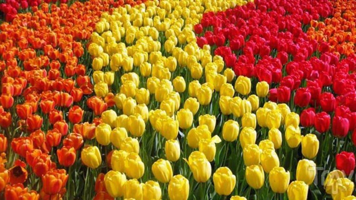 زهور هولندية