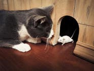 تعديل وراثي جديد.. فئران لا تخشى القطط
