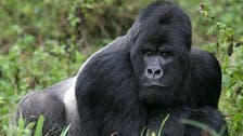 Gorillas may be 'learning to talk,' researchers claim