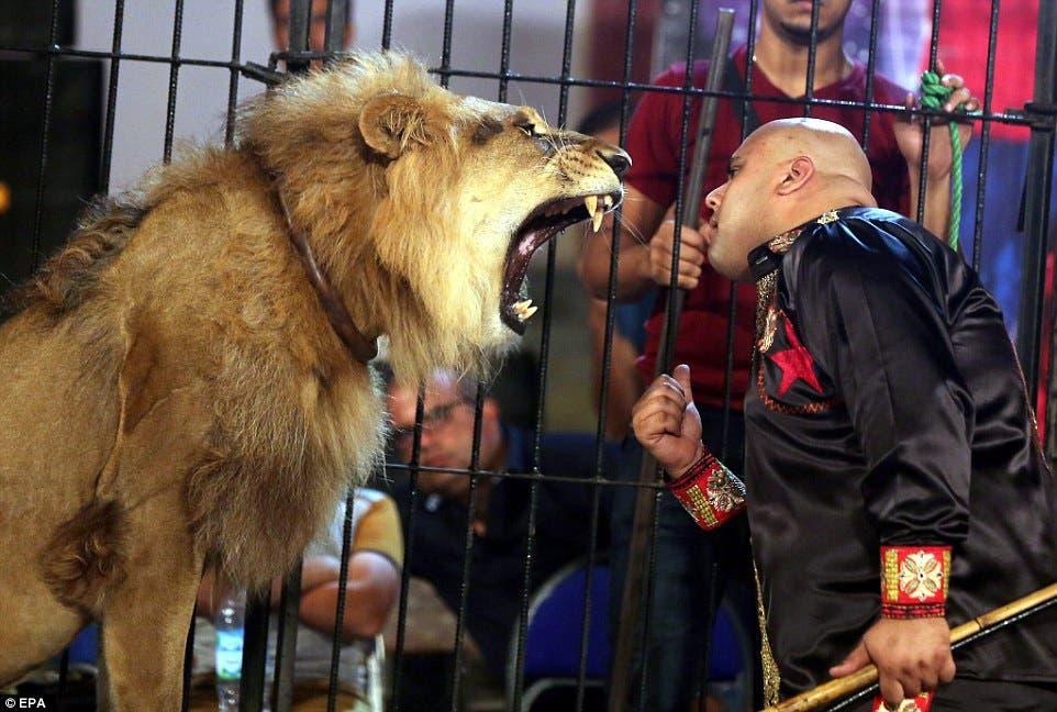 Mohamed Sayed Elhelwe feeding a lion. (Photo courtesy: Daily Mail)
