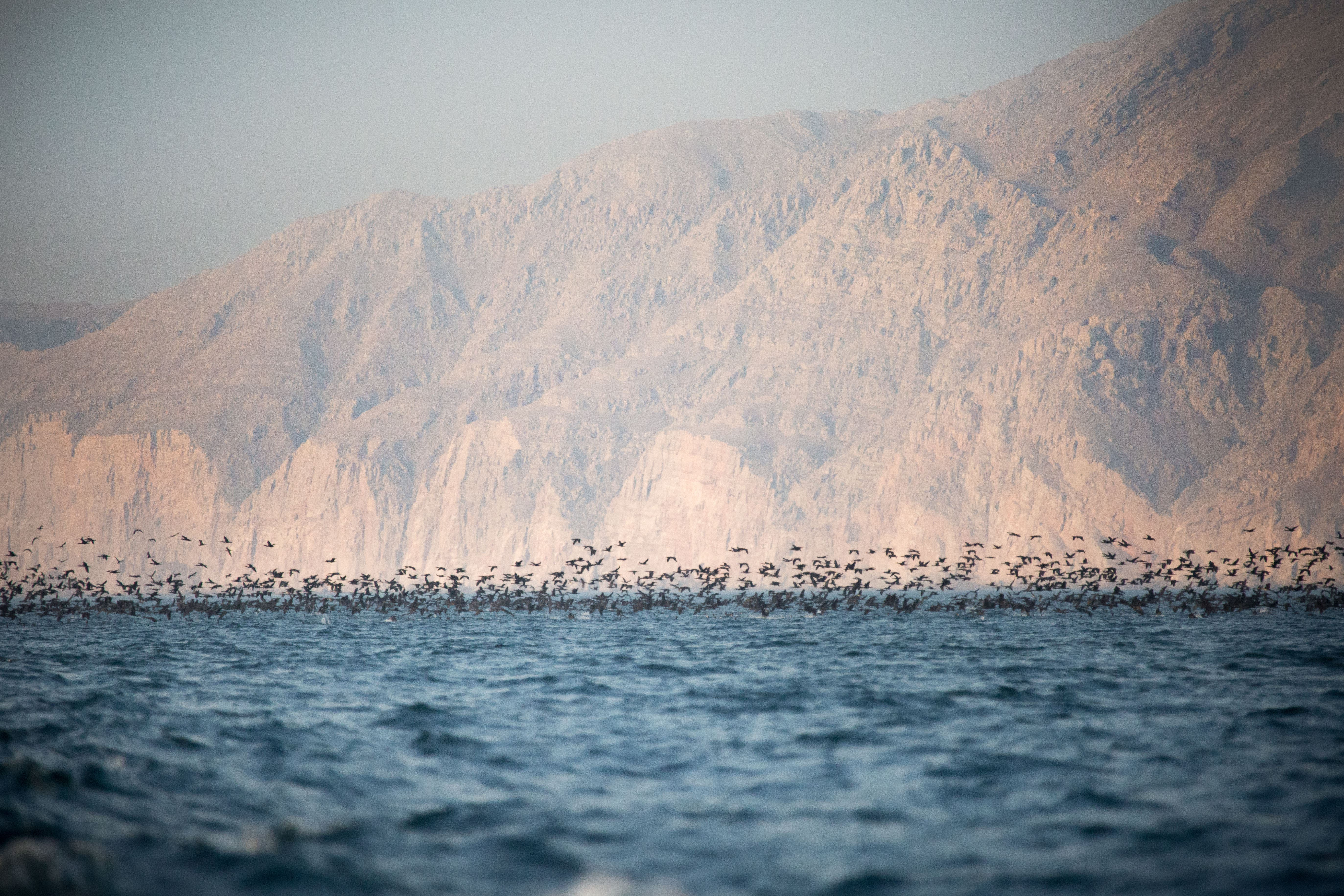 A flock of Socotra cormorants feeding near the Khasab shore. (Amanda Fisher/Al Arabiya News)