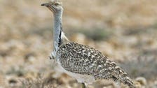 Environmentalists praise Pakistan ban on hunting of rare bird