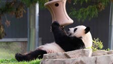لقسوة أمه..  صغير الباندا مات عقب ولادته