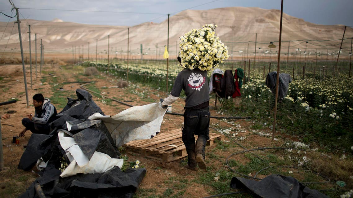 a Palestinian farmer carries a pile of flowers in the fields of west bank Jordan valley Jewish settlement of Petsael. (File: AP)