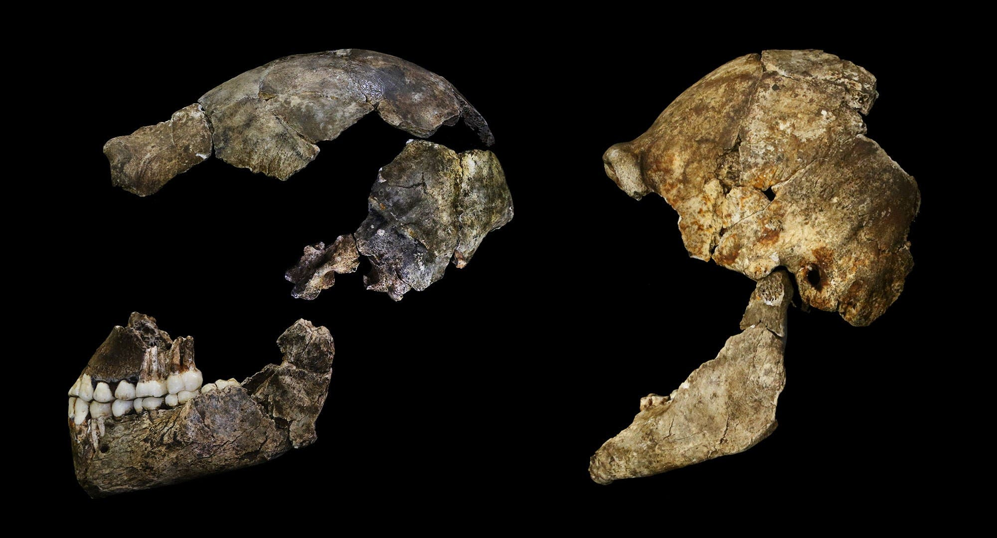 SAFRICA04 - Johannesburg, -, SOUTH AFRICA : A hand out image made available by the University of the Witwatersrand, shows Crania of Homo Naledi are pictured in the Wits bone vault at the Evolutionary Studies Institute at the University of the Witwatersrand, Johannesburg, on September 7, 2015. The fossils are among nearly 1,700 bones and teeth retrieved from a nearly inaccessible cave near Johannesburg. The fossil trove was created, scientists believe, by Homo naledi repeatedly secreting the bodies of their dead companions in the cave. Analysis of the fossils -- part of a project known as the Rising Star Expedition -- was led in part by paleoanthropologist John Hawks, professor of anthropology at the University of Wisconsin-Madison. AFP PHOTO/HO/ WITS UNIVERSITY/JOHN HAWKS