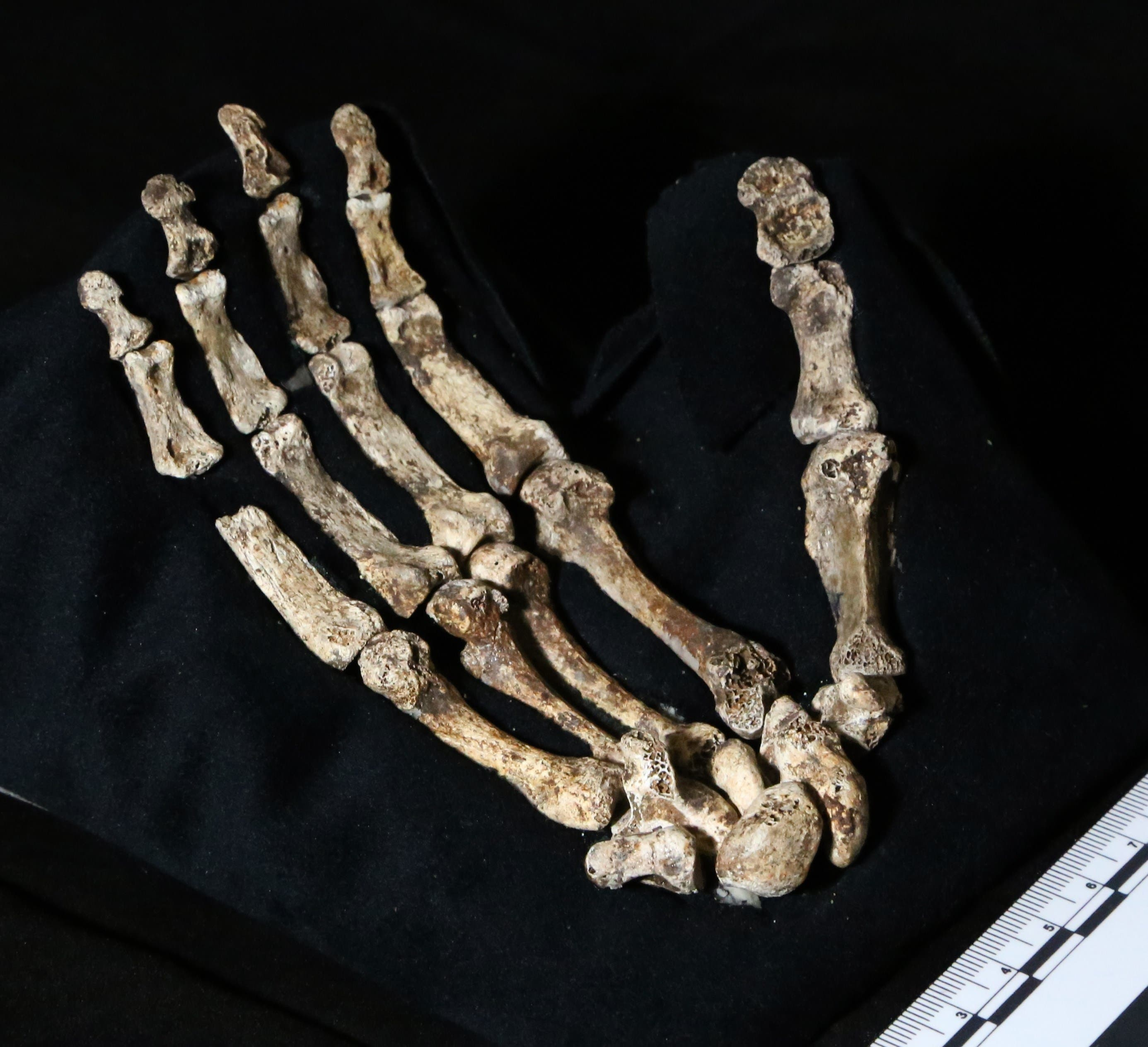 SAFRICA06 - Johannesburg, -, SOUTH AFRICA : A hand out image made available by the University of the Witwatersrand, shows the hand of Homo Naledi, pictured in the Wits bone vault at the Evolutionary Studies Institute at the University of the Witwatersrand, Johannesburg, on September 13, 2014. The fossils are among nearly 1,700 bones and teeth retrieved from a nearly inaccessible cave near Johannesburg. The fossil trove was created, scientists believe, by Homo Naledi repeatedly secreting the bodies of their dead companions in the cave. Analysis of the fossils -- part of a project known as the Rising Star Expedition -- was led in part by paleoanthropologist John Hawks, professor of anthropology at the University of Wisconsin-Madison. AFP PHOTO/HO/ WITS UNIVERSITY/JOHN HAWKS