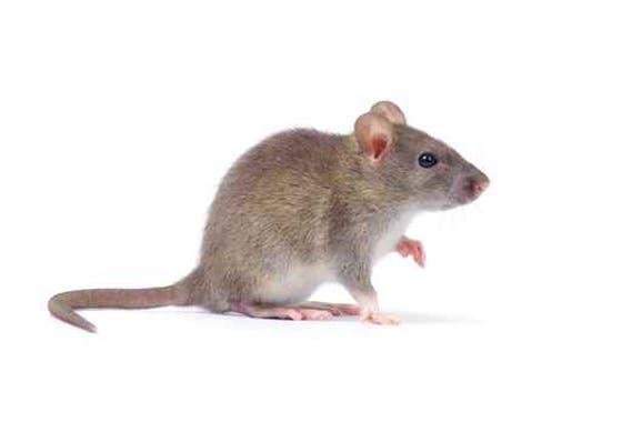 من غرائب ما اكتشفوا أيضاً أن الفئران تتنهد - توضيحية