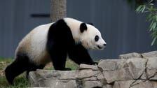 ميشيل أوباما وزوجة الرئيس الصيني تسميان مولود الباندا