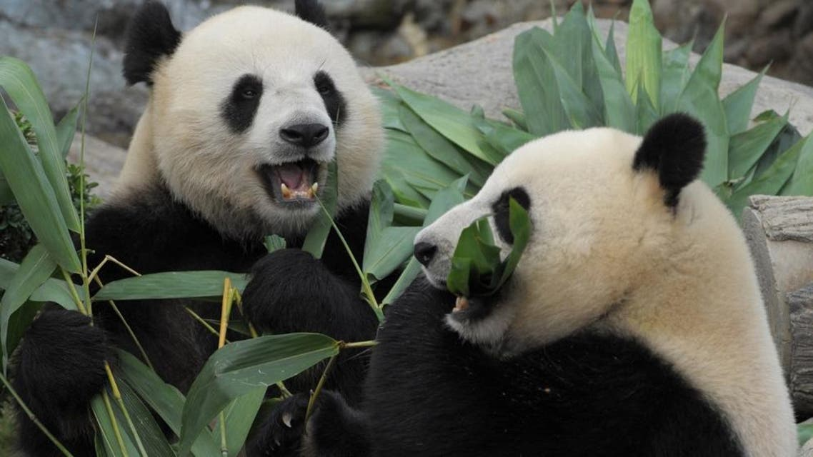 In this file picture taken on August 9, 2009, giant Pandas Le Le (L) and Ying Ying (R) chew on bamboo shoots on their joint fourth birthday at Ocean Park in Hong Kong.  (AFP)