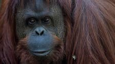 New home found for Sandra the orangutan