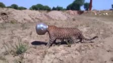 Ouch! Thirsty leopard gets head stuck in metal water pot