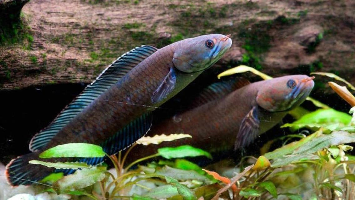 A blue snakehead fish is among a vast array of species found in the ecologically sensitive Himalayas between 2009 and 2014. (AFP)