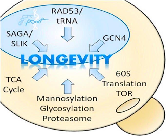 غرافيك من الدورية المنشور فيها البحث يشير الى عمل تعطيل بعض الجينات لاطالة عمر الحياة