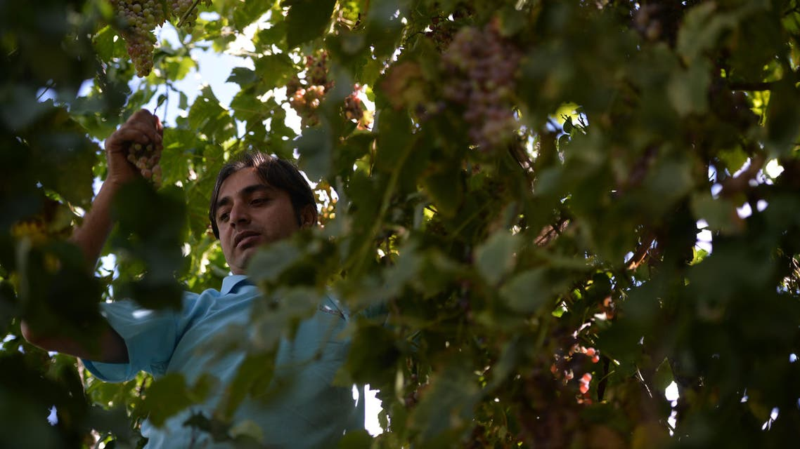 In this photograph taken on September 27, 2015, local resident Rehmat Ali picks grapes from a tree for brewing wine in his garden in the remote village of Sher Qilla in Punyal valley in northern Pakistan. (AFP)