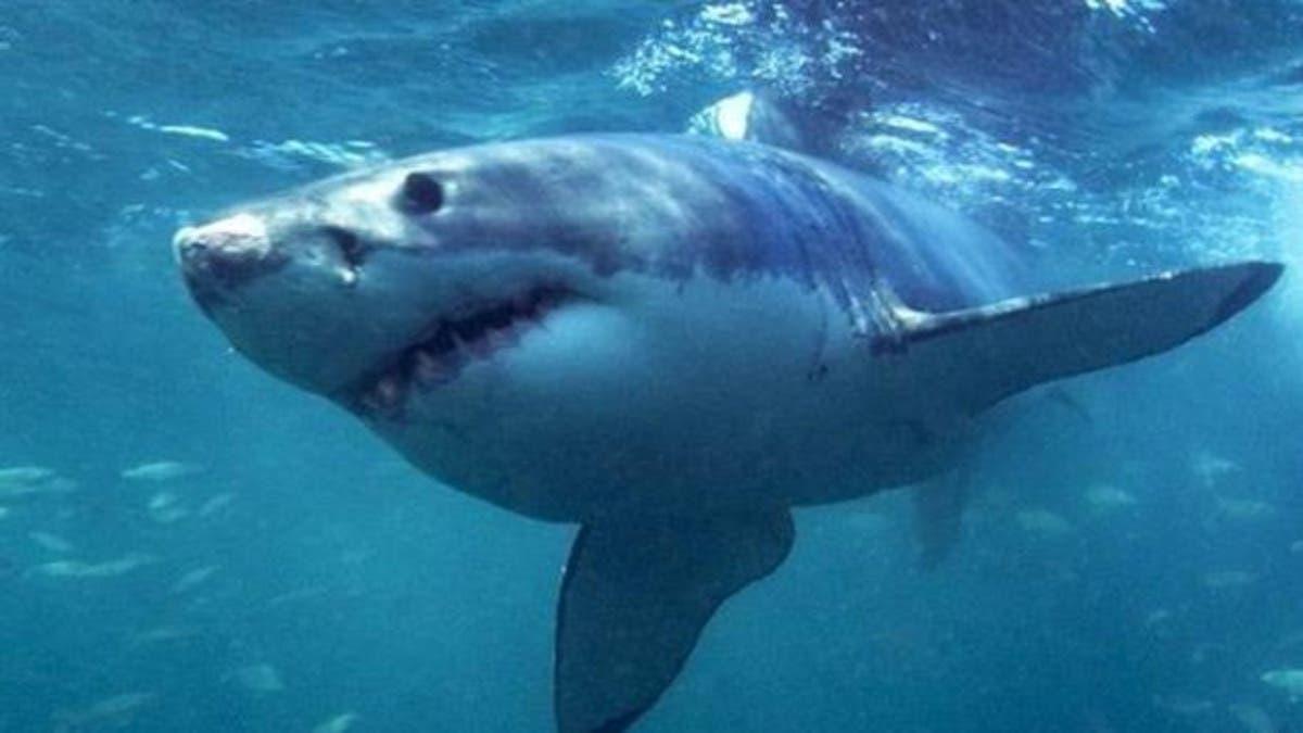 نتيجة بحث الصور عن اسماك القرش فى استراليا