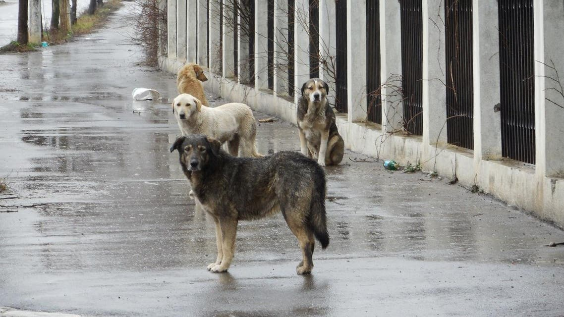 كلاب ضالة حيوانات شاردة