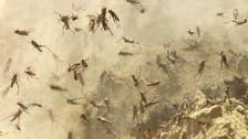 Locust disaster facing Yemen could heighten famine woes
