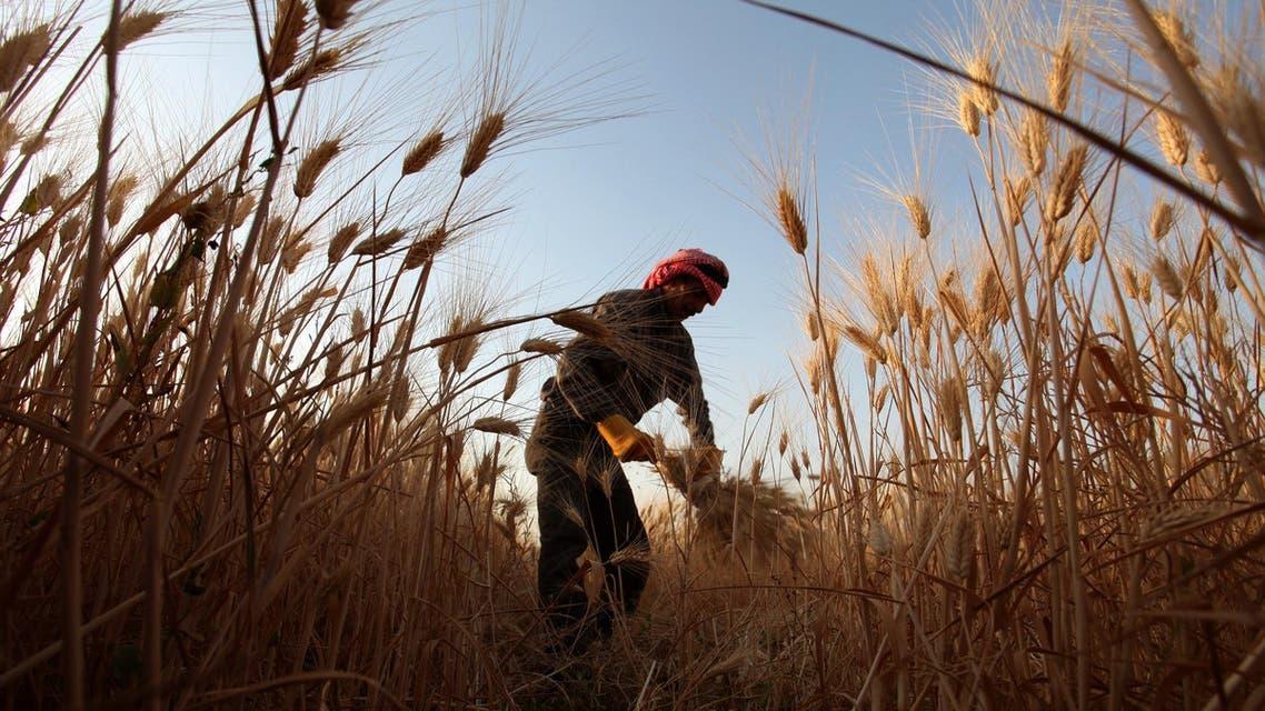 Jordanian farmer harvests wheat on the outskirts Amman, Jordan, Saturday, June 16, 2012. (AP Photo)