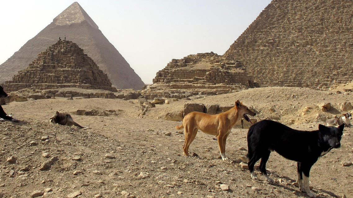 In this Tuesday, Feb. 3, 2015 photo, stray dogs gather in front of the Pyramids of Giza on the outskirts of Cairo, Egypt. (AP)