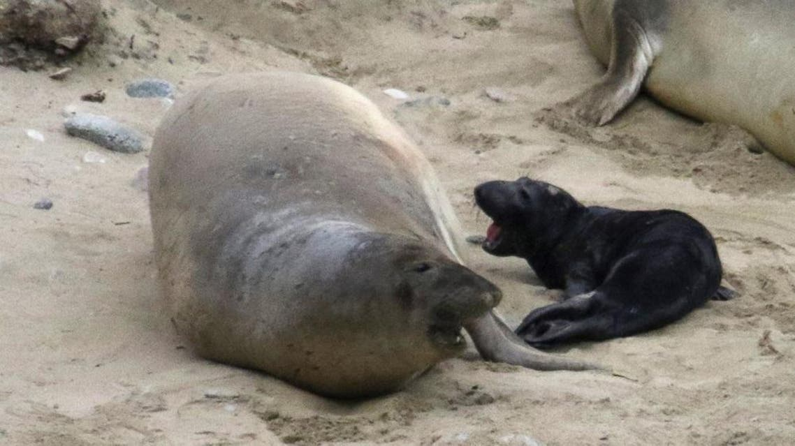 In this Jan. 2, 2016 photo, the elephant seal that tied up traffic in Northern California is shown after giving birth at Point Reyes National Seashore, Calif | AP