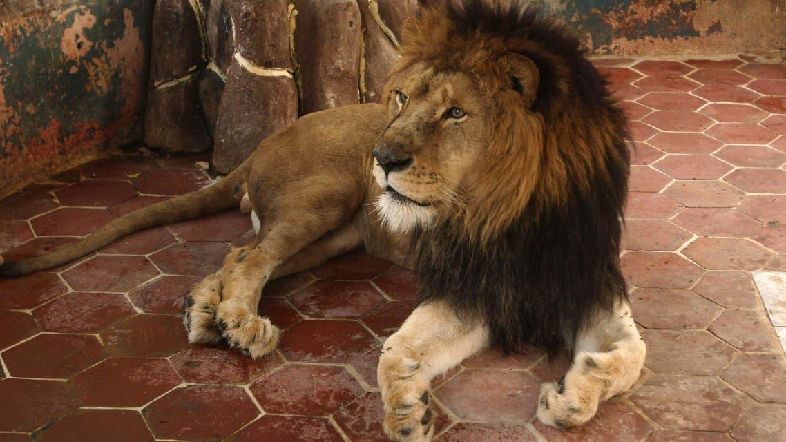 Dubai pet lion escapes, found roaming the streets ap