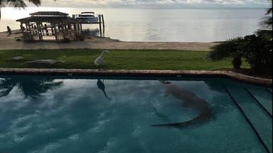 تمساح يستقر في حوض سباحة منزل في فلوريدا