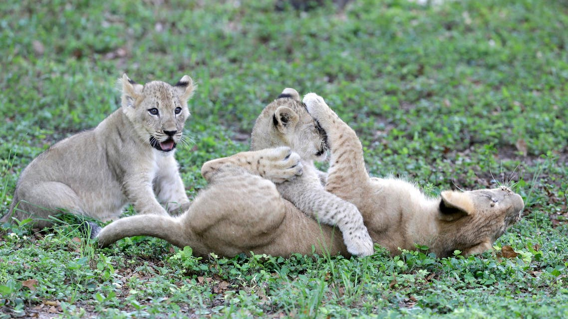 Three of five lion cubs, including adopted son, Kwasi, upside down, play as they explore their new enclosure with their other sibling and mother Kashifa, not shown, Thursday, June 5, 2014, as Zoo Miami officially introduced the family to the public, in Miami. Kashifa, a 4 ½-year-lioness, gave birth to her second litter of cubs March 6, one female and three males. Kashifa's sister, Asha, had given birth to Kwasi on Dec. 15, 2013. Asha later died from complications during a veterinary procedure and Kwasi was adopted by Kashifa. (AP Photo/Wilfredo Lee)