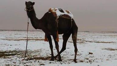 السعودية.. سفينة الصحراء تمشي على الثلوج
