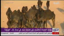 Dozens of camels in Jeddah found infected with Coronavirus