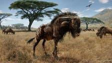 Ancient wildebeest cousin boasted bizarre dinosaur-like trait