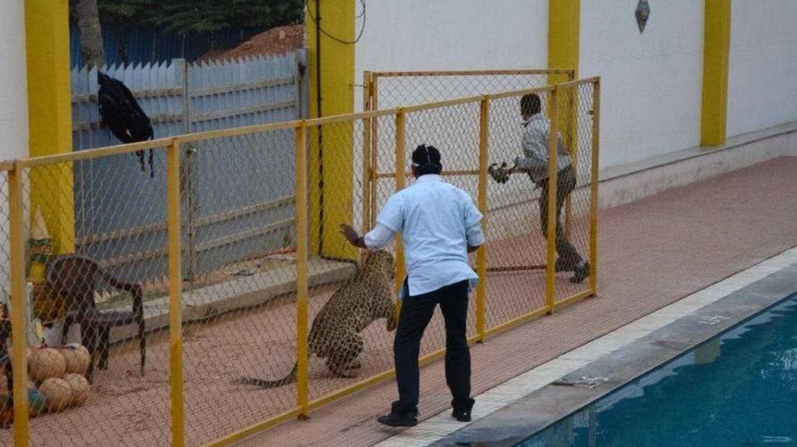 A male leopard which strayed into Vibgyor school in the southern Indian city of Bangalore on February 7 injured five people before it was tranquilised and captured (AFP)