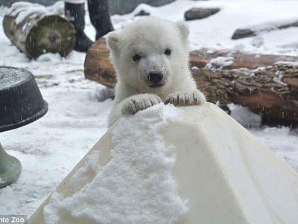 فيديو طريف.. دبة قطبية رضيعة ترى وتلمس الثلج لأول مرة