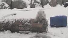 فيديو صادم.. دب قطبي يلتهم صغيرا أمام أمه