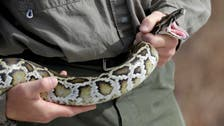 The pitfalls of posing with potentially poisonous pythons