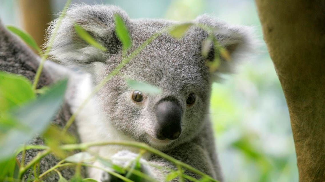 A baby Koala peers at visitors at the Cleveland Metroparks Zoo Wednesday, July 2, 2008. (AP)