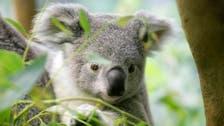 Oldest koala in North America celebrates her 18th birthday