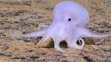 Scientists discover 'ghostlike' octopus off Hawaii
