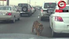 بالفيديو.. نمر طليق بشوارع الدوحة