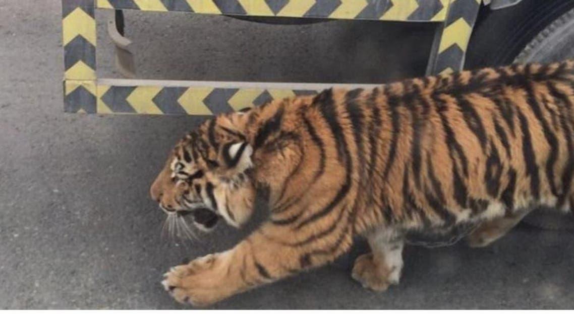 qatar tiger twitter