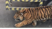 Watch: Escaped tiger takes a catwalk on Qatar highway