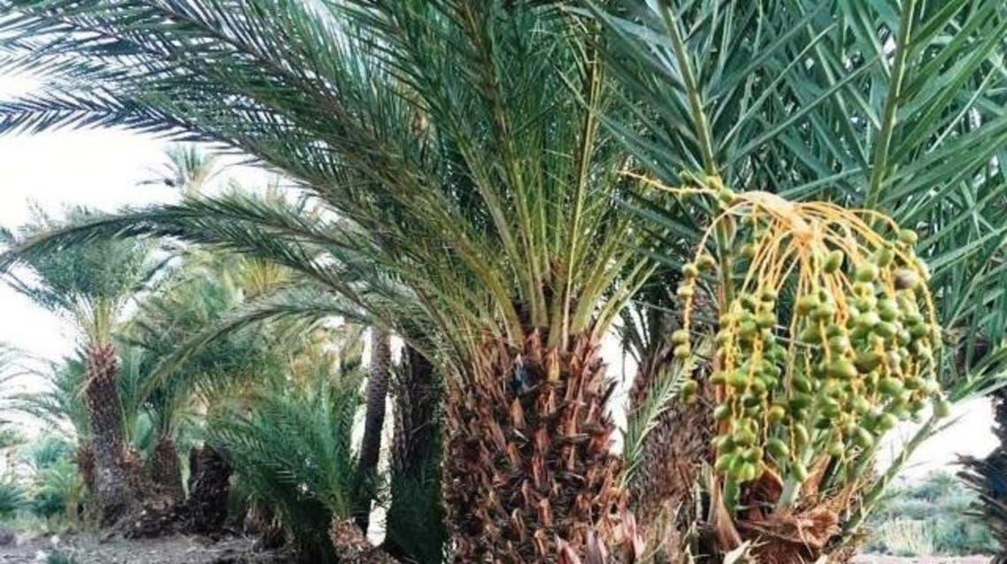 --- صور: النخيل في قرية إزركي في ضواحي حقول الطاقة الشمسية نور في ضواحي مدينة ورزازات المغربية