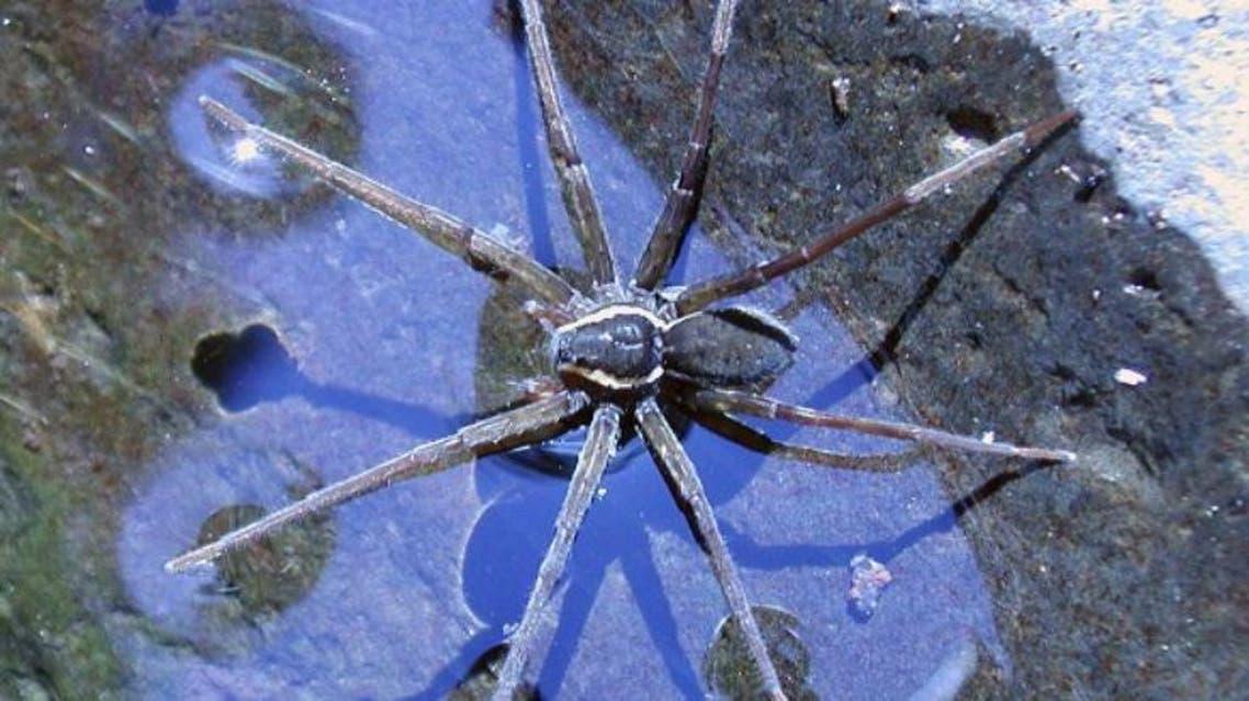 العنكبوت آكل الكائنات الحية