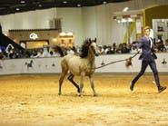 دبي: 7.5 ملايين درهم حصيلة المزاد الأهم للخيول