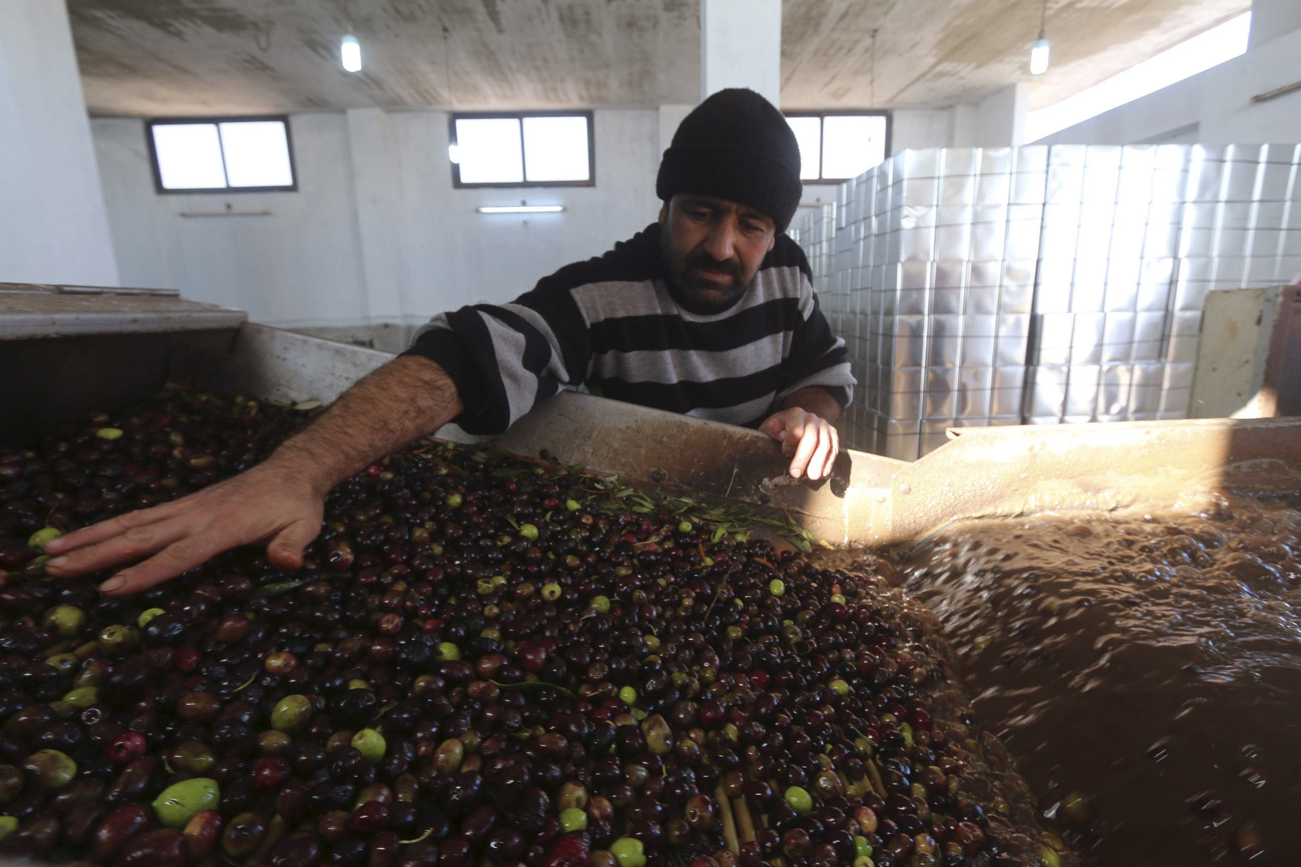 A worker watches as a machine cleans olives before pressing them to be made into oil, at Zamzam olive press factory in the western province of Idlib, Syria November 19, 2015. (Reuters)