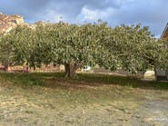 """بالصور.. """"الرقاعة"""" شجرة معمرة جنوب السعودية"""