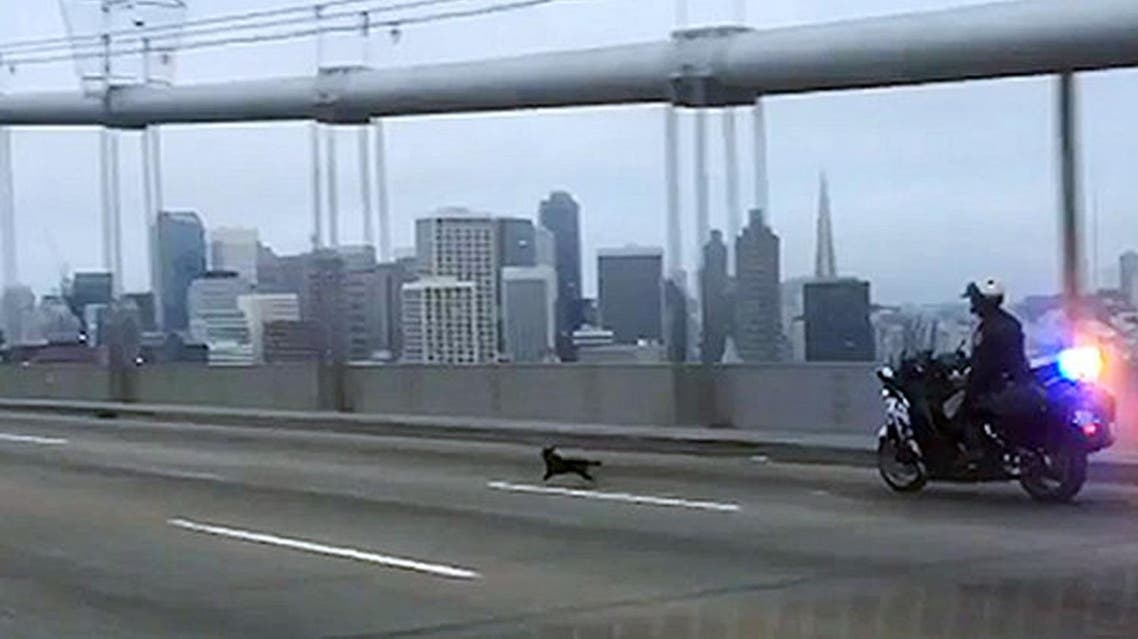 In this frame from video provided by the California Highway Patrol, Officer G. Pumphrey pursues a male Chihuahua running loose on the San Francisco-Oakland Bay Bridge in San Francisco Sunday, April 4, 2016. This image was made from a patrol car running a traffic break to keep cars from passing. Officers finally corralled the dog, then posted images on their Facebook page seeking the public's help in finding the owner.(California Highway Patrol, via AP)