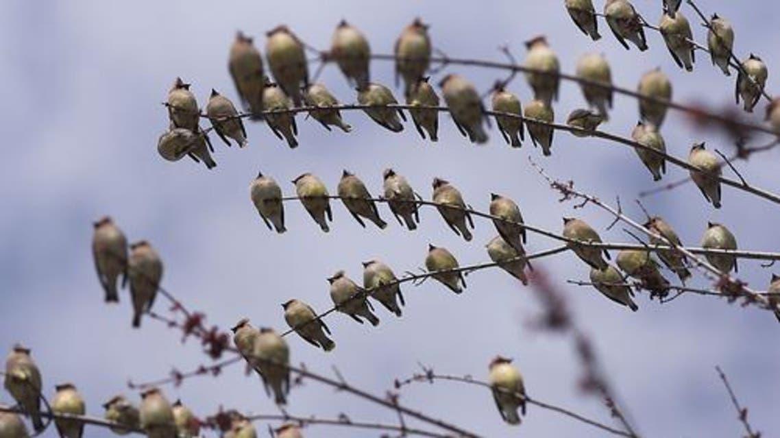 طيور مهاجرة في السعودية